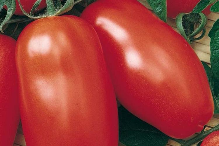 Coltivazione dei pomodori sul terrazzo - Pomodoro Scatolone