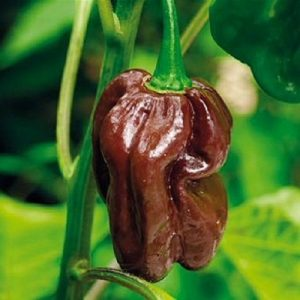 coltivare il Peperoncino Habanero - Habanero Chocolate