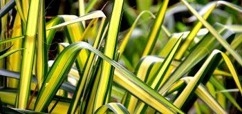 coltivare il clorofito