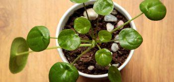 coltivare la Pilea peperomioides