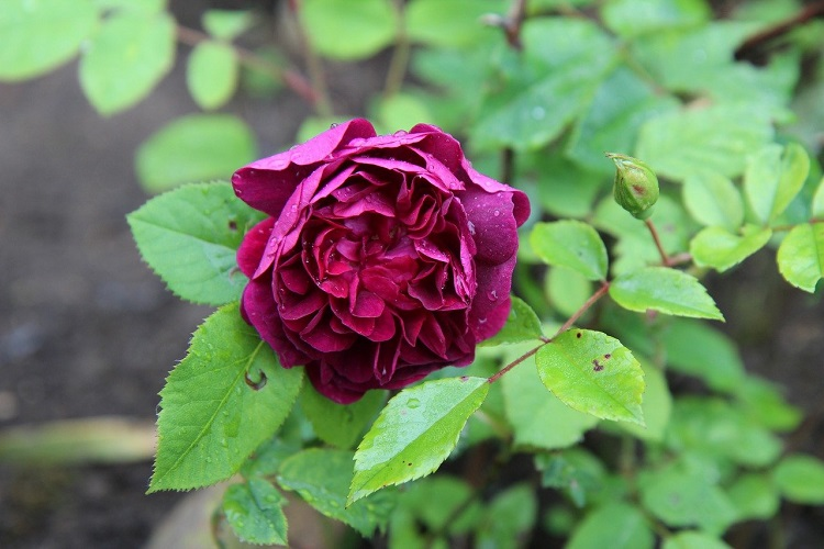 coltivare le Rose moderne