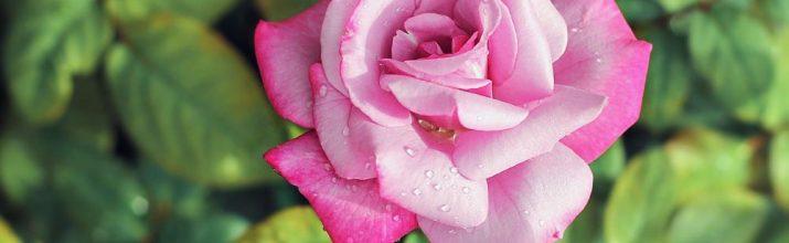 fiori di colore rosa