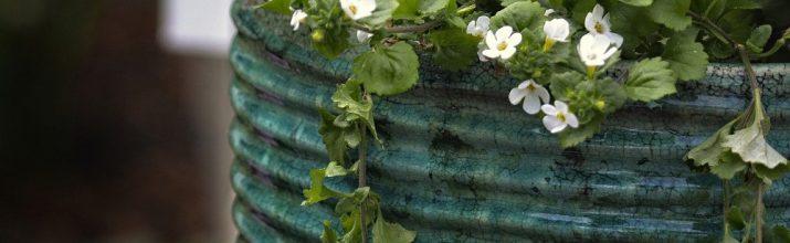 coltivare la bacopa