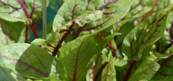 coltivare la acetosa