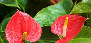 coltivare un Anthurium