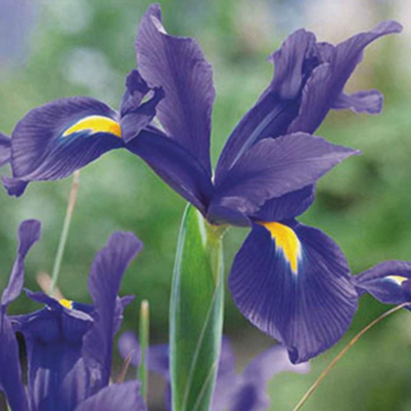 scegliere i bulbi autunnali- iris_hollandica_blu