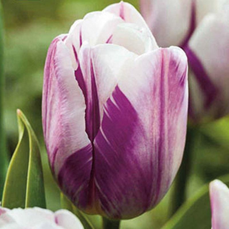 scegliere i bulbi autunnali- tulipano_flaming_flag