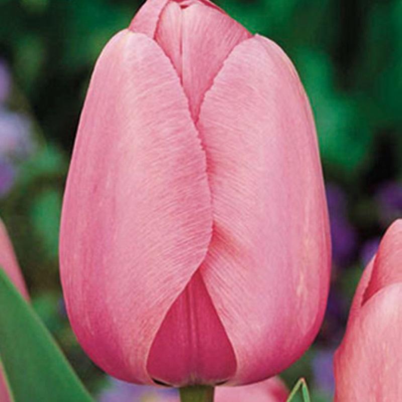 scegliere i bulbi autunnali- tulipano_pink_impression