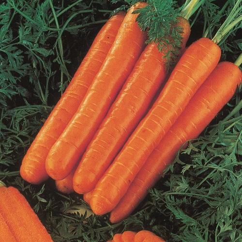 Frutti e verdure utili alla salute - Carota Berlicum