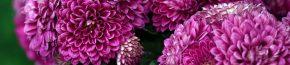 coltivare i crisantemi